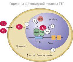 hormoni tiroidieni