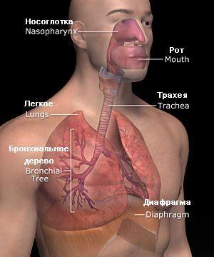 lidský respirační systém