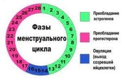 Fáze menstruačního cyklu