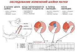 změny v cervixu během ovulace