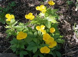 Rostopasca ca un medicament pe bază de plante: proprietăți utile și contraindicații