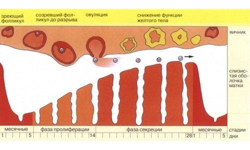 Conducerea ciclului menstrual femeii