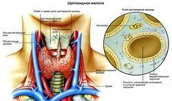 Struktura štítné žlázy