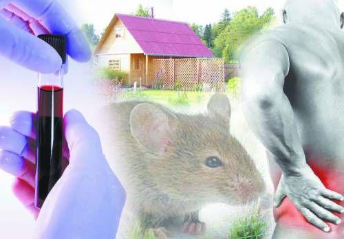 Șobolanii transporta febra hemoragica
