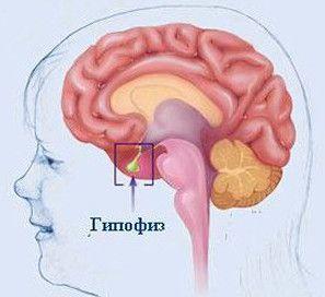Glanda pituitară și hormonii săi