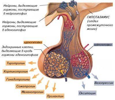 Tipuri de hormoni hipofizari