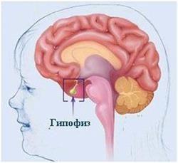 podvěsek mozkový