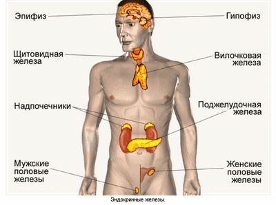 glande endocrine