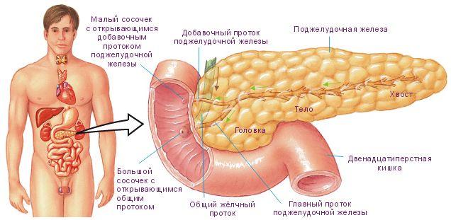 Se pun pancreasul în organism