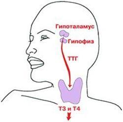Hypofýza a hypothalamus
