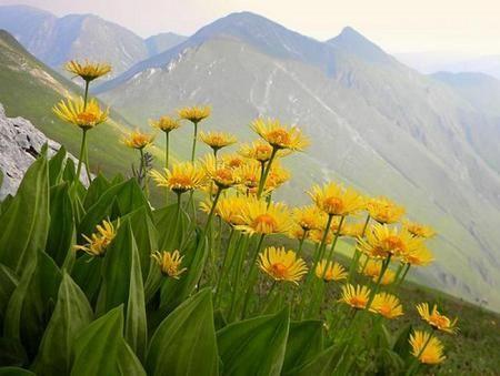 Tajemství přírody pro zdraví a krásu: Arnica tinktura