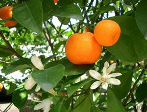 Výhody mandarinky