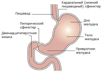 Jaký je objem žaludku dospělého a novorozence?