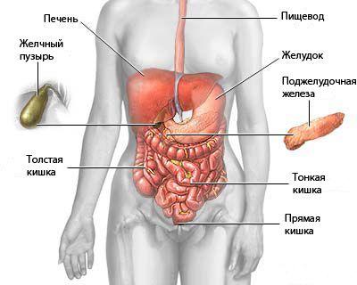 Umístění a anatomie lidského břišních orgánů