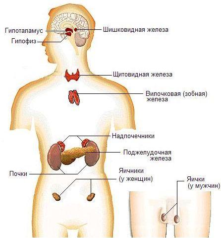 sistemul neuroendocrin