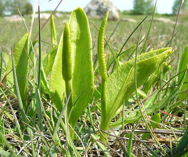 Sem. Ophioglossaceae - Ophioglossaceae - hadilka obecná - hadilka obecná l.