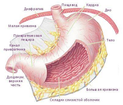 Funkce, anatomie a patologie lidského žaludku