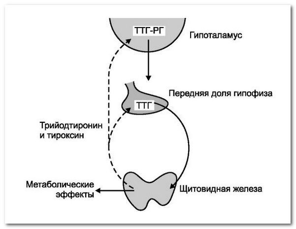 hormony a funkce štítné žlázy
