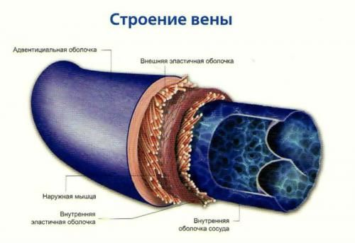 vena struktura