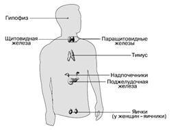 Žlázy endokrinního systému člověka a tabulku jejich hormonů